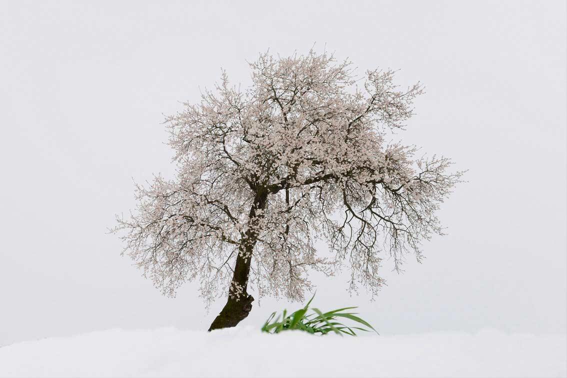 15/50 - WINTER – Almond tree in bloom – Altavilla