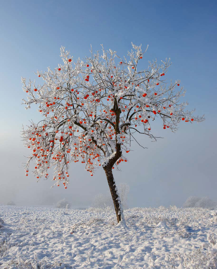 27/50 - WINTER – Persimmon tree with snow and hoar frost – Montiglio